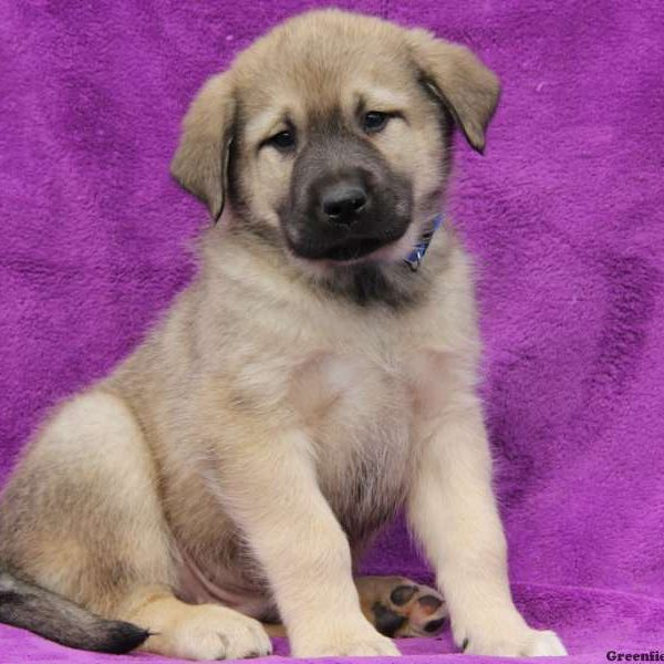 Scout, Great Pyrenees Mix Puppy