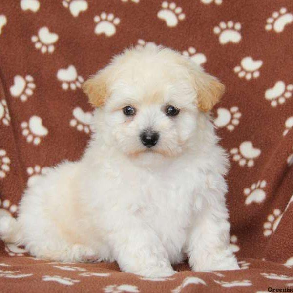 Lhasa-Chon Puppies for Sale - La-Chon Puppies | Greenfield