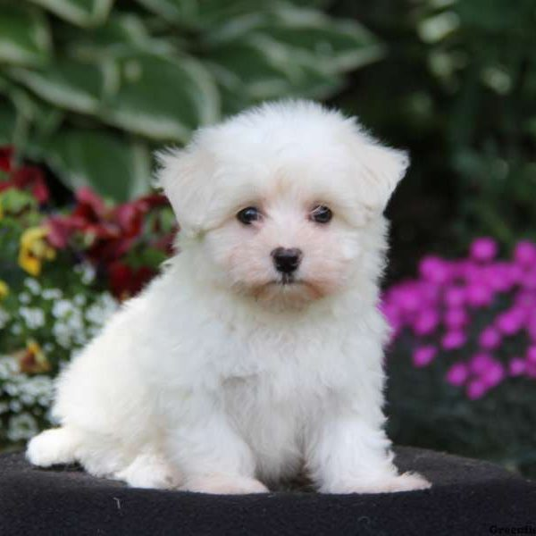 Maltichon Puppies For Greenfield