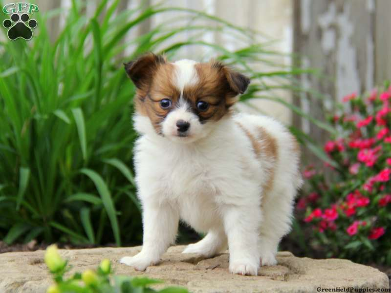 Papillon Puppies For Sale Papillon Breed Profile Greenfield Puppies