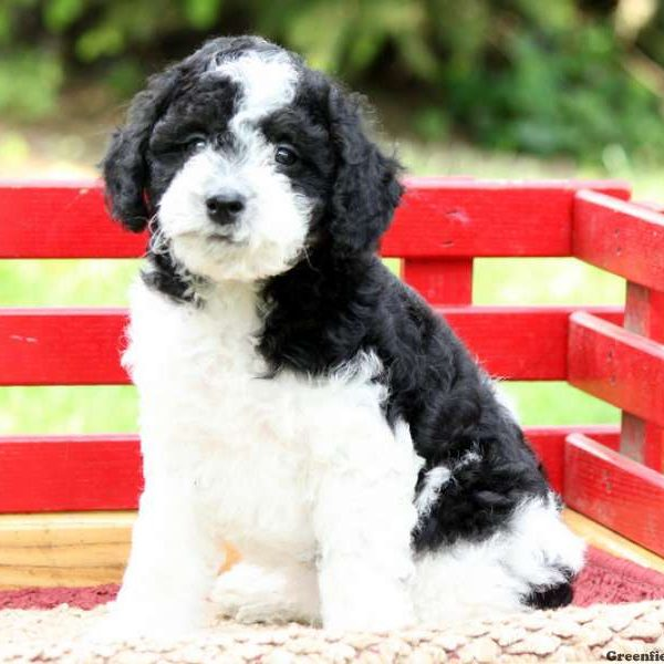 Schnoodle-Miniature Puppy