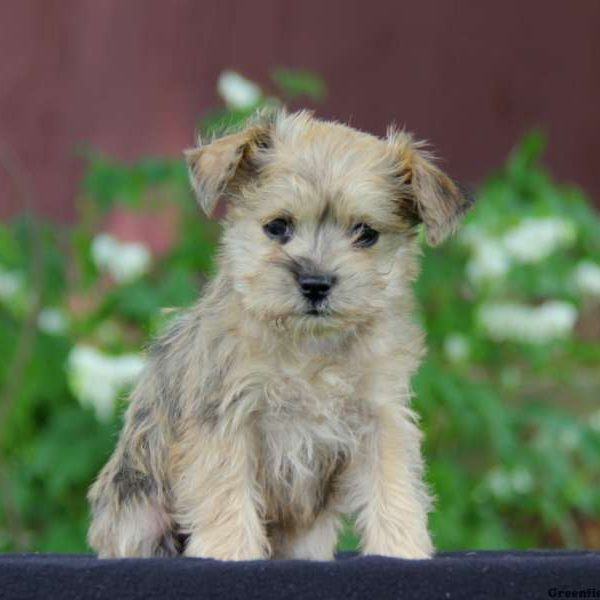 Miniature Schnauzer Mix Puppy