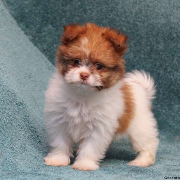 shih tzu pomeranian puppy shih pom puppies for sale shih pom breed info 8601