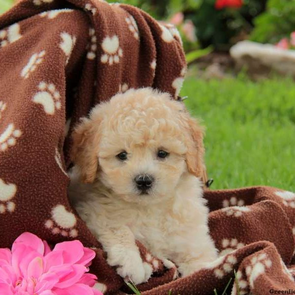 Lhasa-Poo Puppies For Sale - Breed Profile | Greenfield
