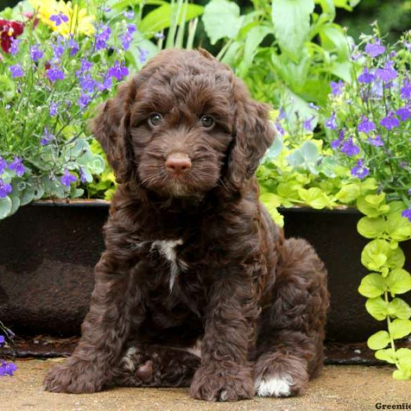 Springerdoodle Puppies for Sale | Greenfield Puppies