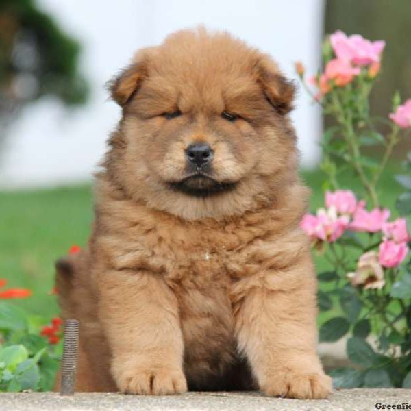 Maggie, Chow Chow Puppy