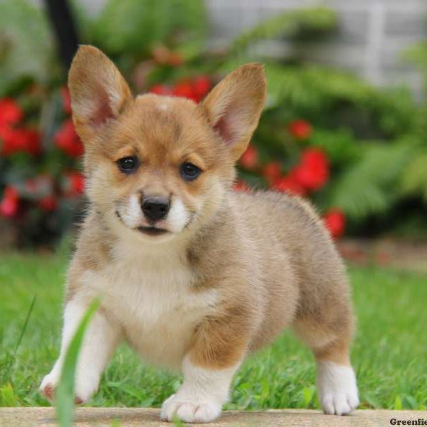 Pembroke Welsh Corgi Mix