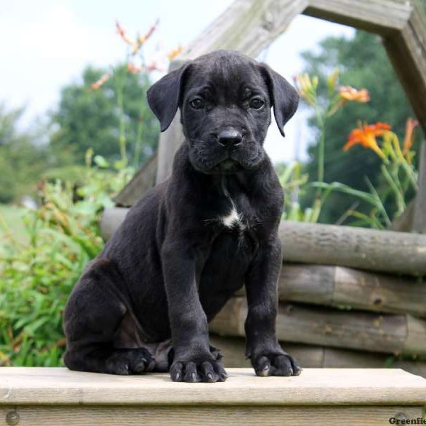Presa Cane Canario Puppies For Sale Greenfield Puppies