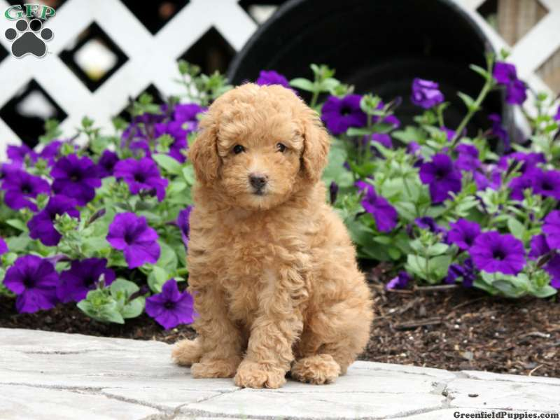 Toy Poodle Puppies For Sale - Toy Poodles | Greenfield Puppies