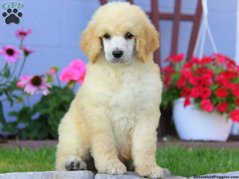 Standard Poodle Puppies for Sale | Greenfield Puppies