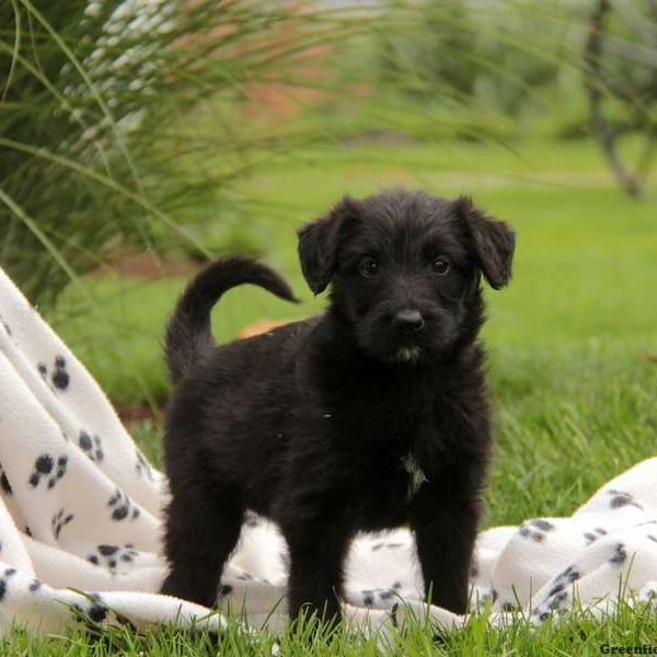Shepadoodle Puppies for Sale | Greenfield Puppies