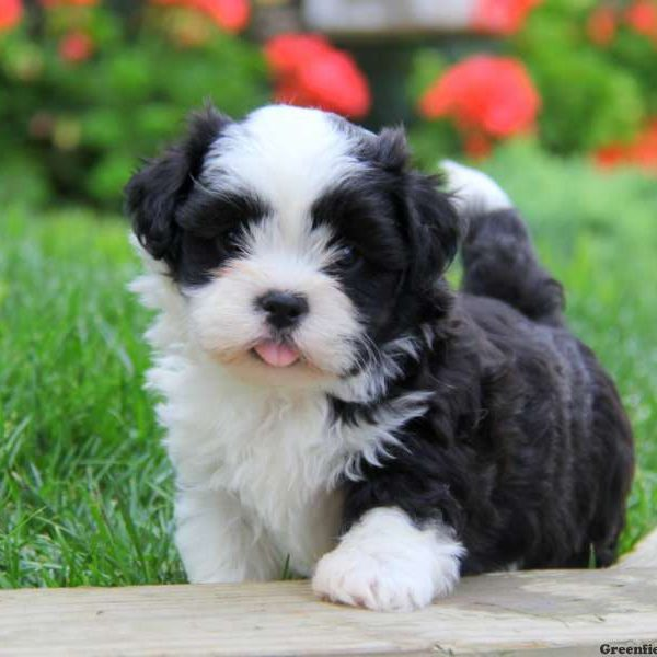 Mal Shi Puppies For Sale Mal Shi Dog Breed Profile Greenfield