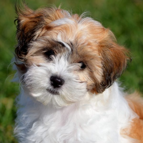 7 Facts About Shichon Teddy Bear Puppies | Greenfield Puppies