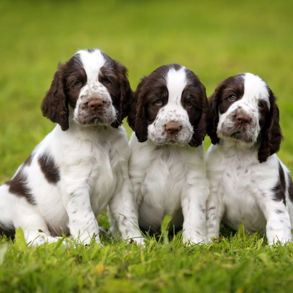 three spaniel puppies sitting in the grass