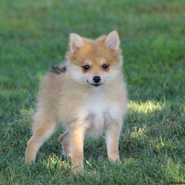 chihuahua pomeranian mix puppies for sale pomchi puppies for sale pomchi dog breed profile 2768