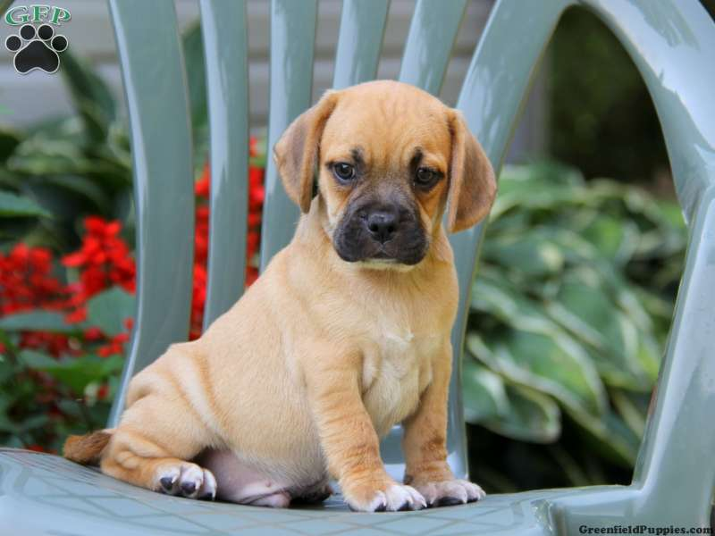 puggle puppy for sale near lancaster pennsylvania puggle puppies for sale puggle dog breed profile