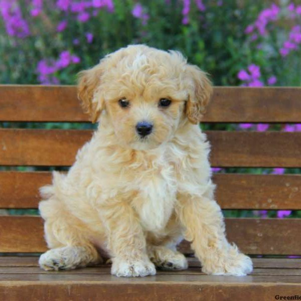 Maltipoo Puppies For Sale - Maltipoo Breed Profile | Greenfield Puppies