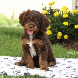 Miniature Poodle Mix Puppies For Sale Greenfield Puppies