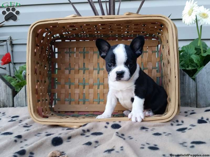 Connu French bulldog boston terrier mix puppies pennsylvania – Dog life  WY29