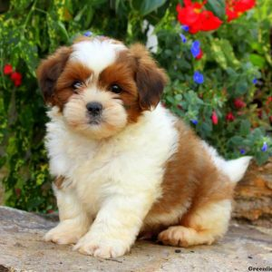 Lhasa Apso Puppies For