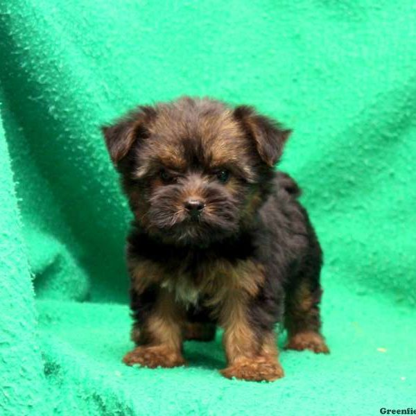 Silky Terrier Puppy