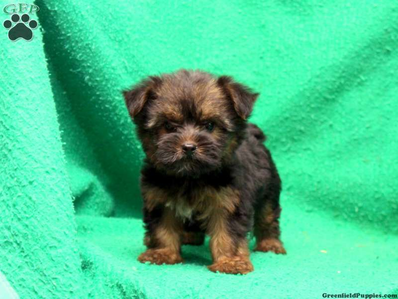 Silky Terrier Puppies For Sale | Greenfield Puppies