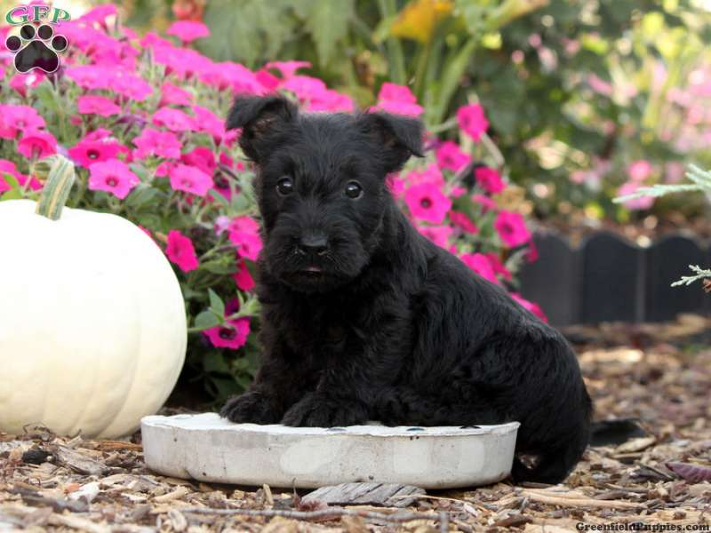 Scottish Terrier Puppies For Sale Greenfield Puppies