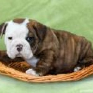 Marigold - English Bulldog