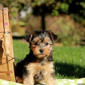yorkie chon for sale yorkie chon puppies for sale in de md ny nj philly dc and 6331