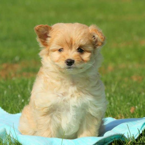 Pomapoo Puppies For
