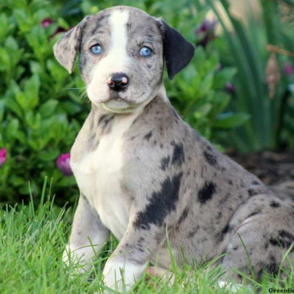 Troy - American Bulldog Mix Puppy For Sale in Pennsylvania