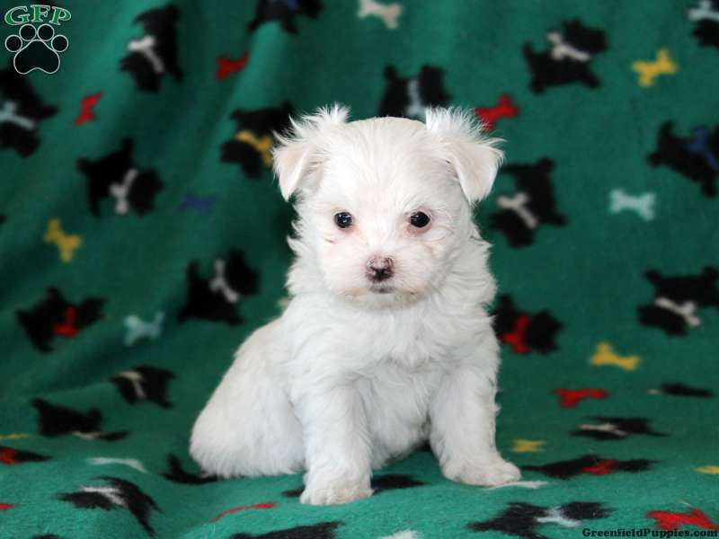 Maltese Puppies For Sale Maltese Breed Profile Greenfield Puppies