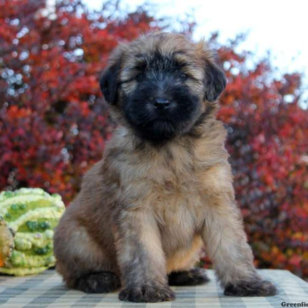 soft coated wheaten terrier for sale soft coated wheaten terrier puppies for sale greenfield 2638