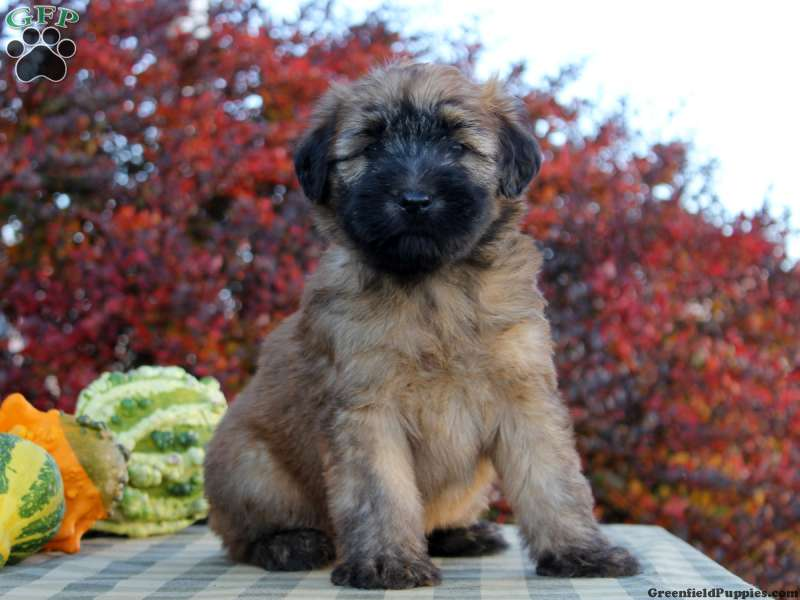 Soft Coated Wheaten Terrier Puppies For Greenfield