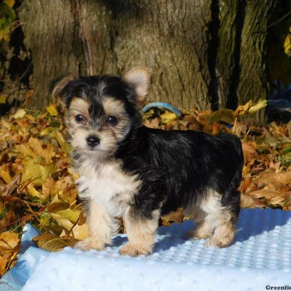 Morkie-Poo Puppy