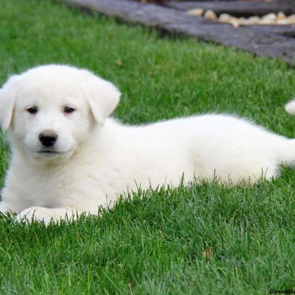 snowball great pyrenees mix puppy for sale in pennsylvania