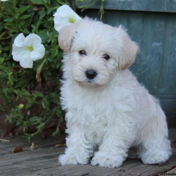 Westiepoo Puppies For Sale Westiepoo Breed Info