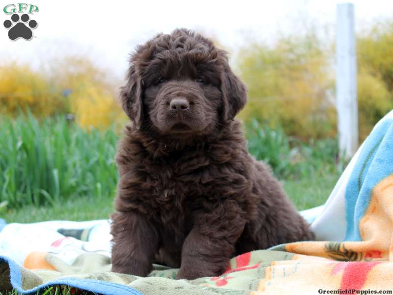 newfoundland puppies for sale newfy breed profile