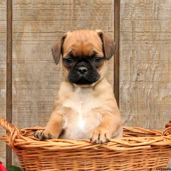 Pug Mix Puppies For Sale - Pug Mix Breed Profile | Greenfield Puppies