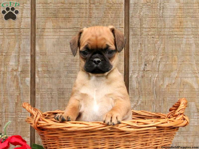 Pug Mix Puppies For Sale Pug Mix Breed Profile Greenfield Puppies