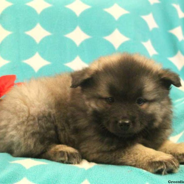 Macy - Keeshond Mix Puppy For Sale in Pennsylvania