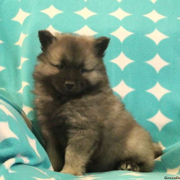 Mandell - Keeshond Mix Puppy For Sale in Pennsylvania
