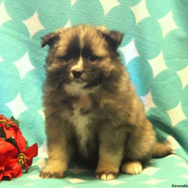 Mimi - Keeshond Mix Puppy For Sale in Pennsylvania