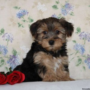 yorkie chon for sale yorkie chon puppies for sale in de md ny nj philly dc and 8445