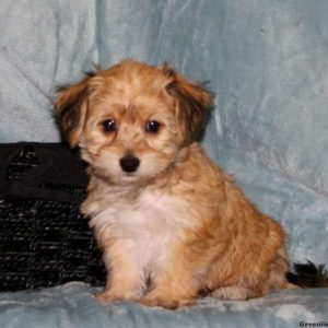 yorkie chon for sale yorkie chon puppies for sale in de md ny nj philly dc and 3093
