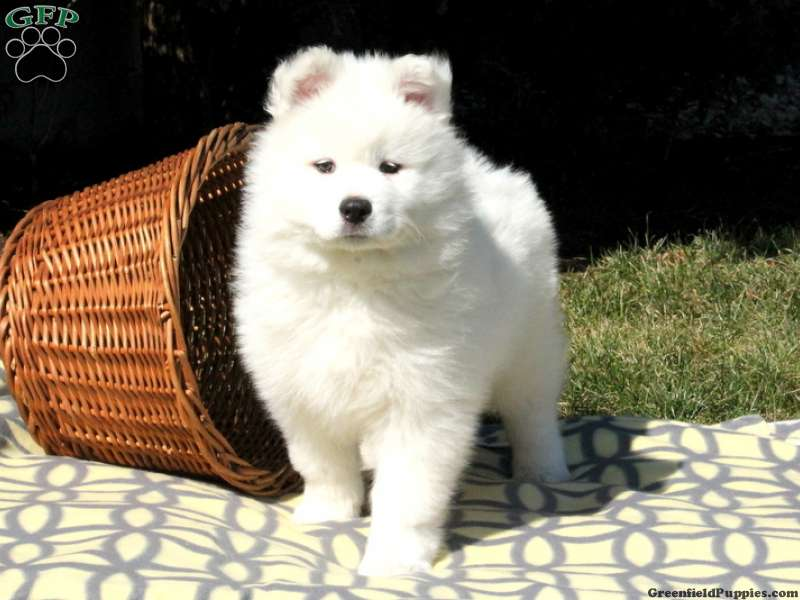 Samoyed Puppies For Sale - Samoyed Breed Profile
