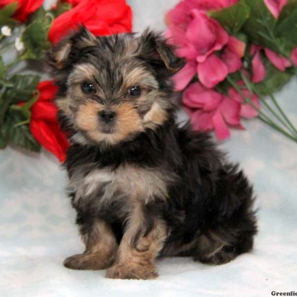 Morkie Yorktese Puppies For