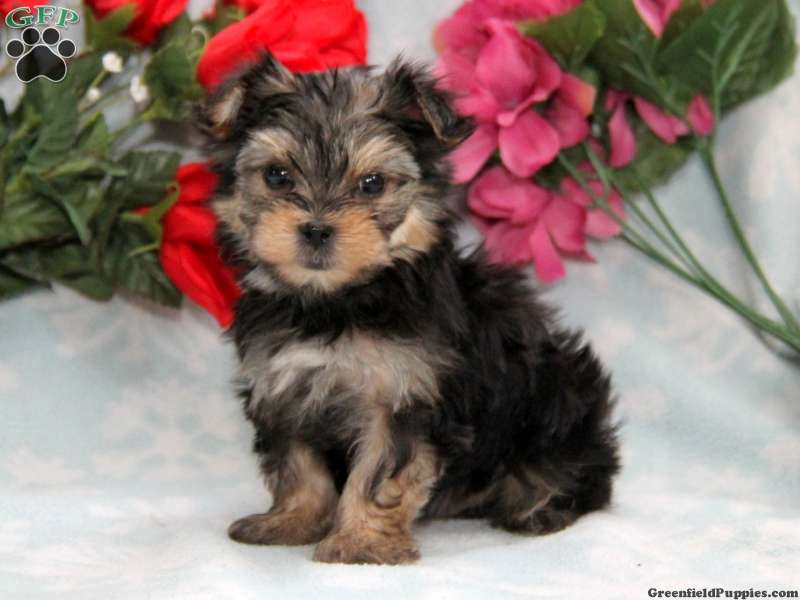Morkie Puppies For Sale - Yorktese Puppies | Greenfield Puppies