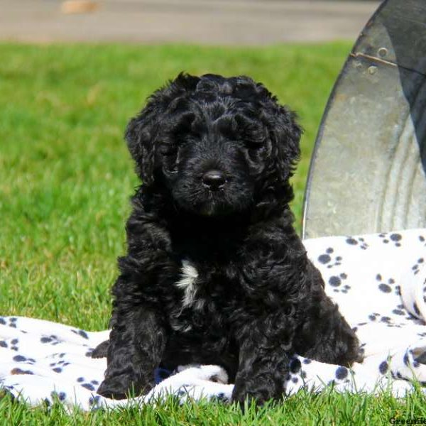 Newfypoo Puppies For Sale Greenfield Puppies