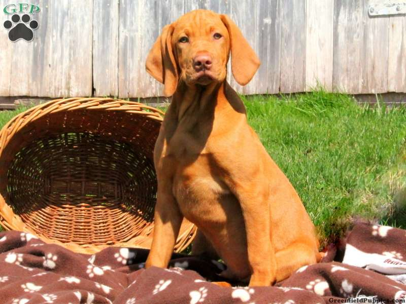 Vizsla Puppies For Sale Vizsla Dog Breed Info Greenfield Puppies